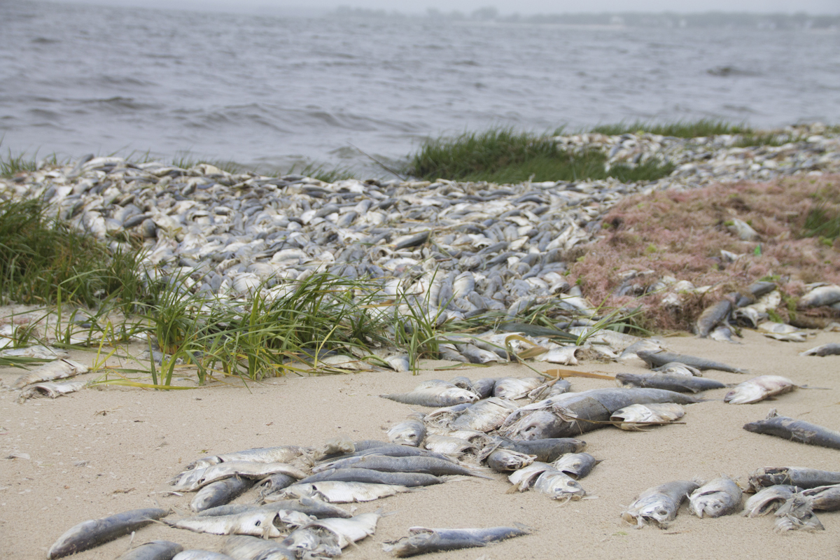 Dead fish line the shoreline at Indian Island Monday morning. (Credit: Paul Squire)