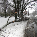 This tree fell near the Suffolk County National Bank on Ostrander Avenue. (Credit: Tim Gannon)