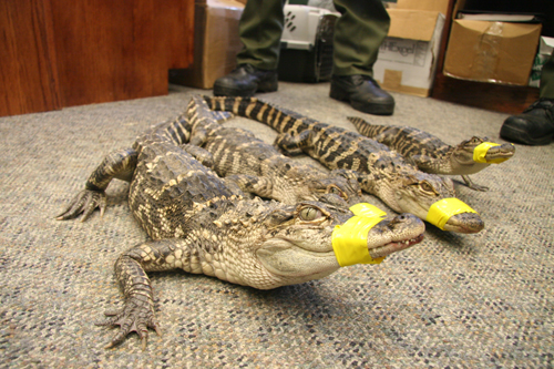DEC COURTESY PHOTO | These four gators were captured in the Peconic River Friday morning. A Manorville residents spotted the reptiles and contacted the DEC.