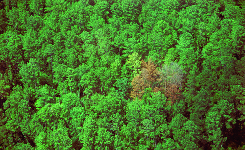 Southern Pine Beetles, which are devastating forests across the Northeast, have arrived on Long Island. (Credit: Courtesy photo)
