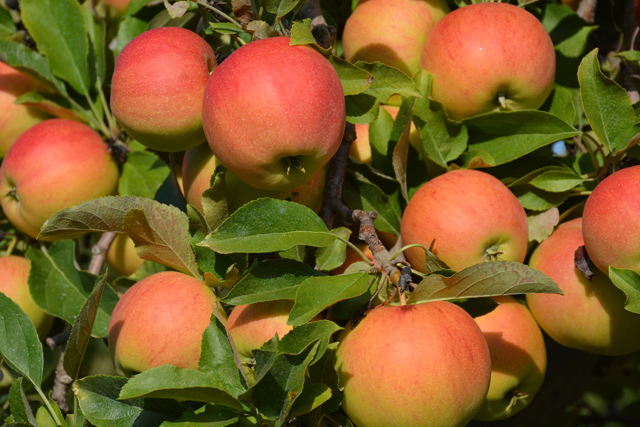 Apples on the North Fork are ripe for the picking (Credit: Monique Singh-Roy)