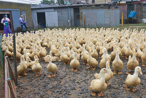 Six week-old ducks in the holding pen on the farm near the processing plant. (Credit: Barbaraellen Koch)