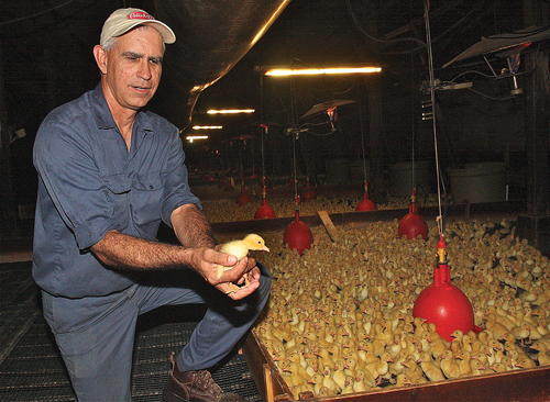 Crescent Duck Farm's president Doug Corwin holding a two-day old chick in the hatchery. There were 11,900 in there on Tuesday morning. (Credit: Barbaraellen Koch)