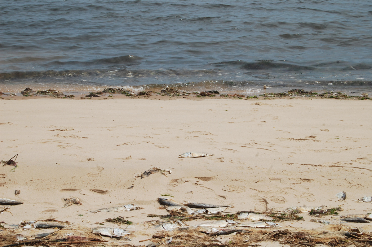 Some dead fish from last week's kill still lined the beach at Indian Island. (Credit: Nicole Smith)