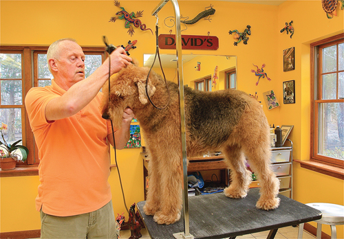 David Borders grooms Lily, an Airedale terrier, at Schoshire Kennels in Aquebogue. (Credit: Barbaraellen Koch, file)