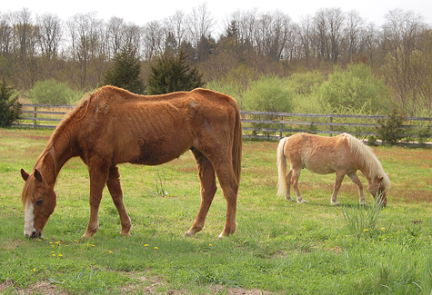 VERA CHINESE FILE PHOTO | A malnourished horse and pony at Abbess Farm in Calverton in 2011, when the horse's owner could not access the party.