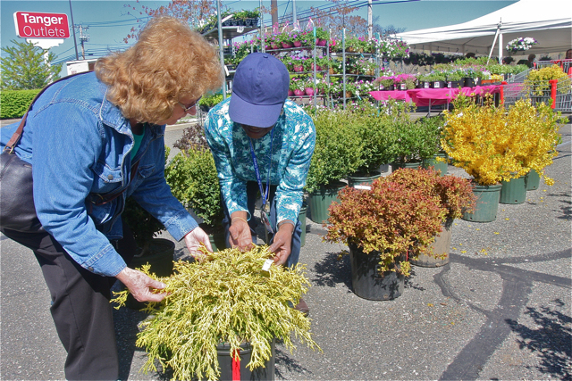 Mildred Maloney of Calverton gets some help from volunteer Thelma Booker picking out a Golden Thread Cypress. (Credit: Barbaraellen Koch)