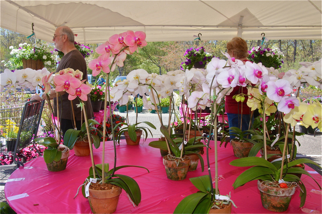 A table full of orchids from Bianchi-Davis greenhouses in Riverhead under the tent. (Credit: Barbaraellen Koch)