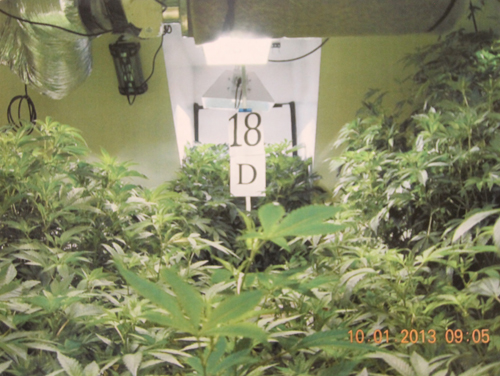 COURT DOCUMENT IMAGE | A photo taken during Tuesday's raid of an Osborn Avenue property shows dozens of marijuana plants in the garage of Edward Dispirito, police say.