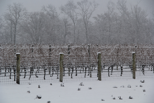 A snowy Jamesport Vineyard. Farmers say snow acts as an insulator to protect soil. (Carrie Miller file photo)