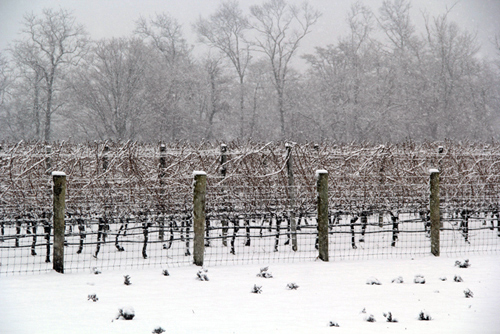 CARRIE MILLER PHOTO | Jason's Vineyard in Jamesport.