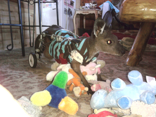 Mr. Jingles, a handicapped Kangaroo at Settlers Pond Shelter. (Credit: Pinky Janota)