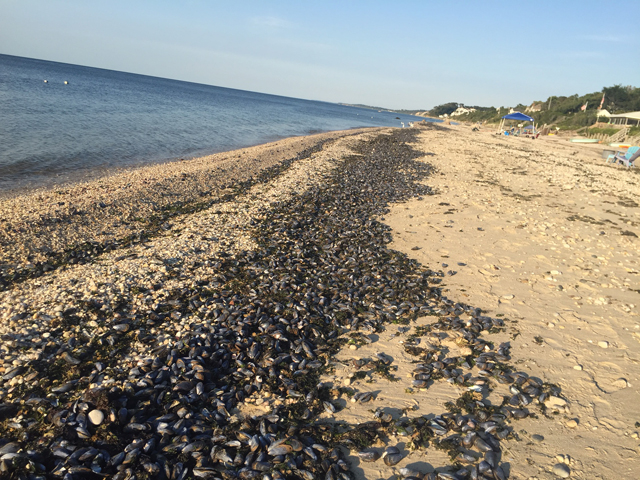 Mussels Long Island Sound Jamesport