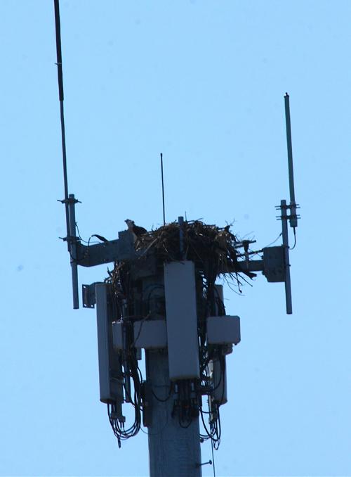 BARBARAELLEN KOCH PHOTO | Osprey chick on JFD radio tower