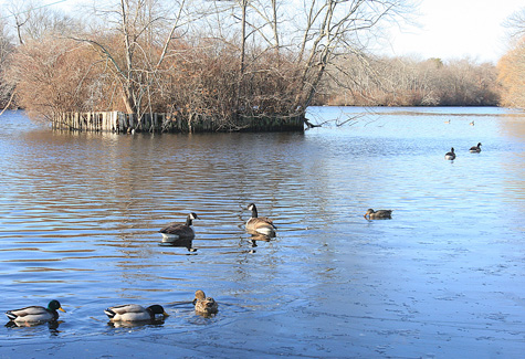 BARBARAELLEN KOCH FILE PHOTO | Ducks on the Peconic River near Grangebel Park.