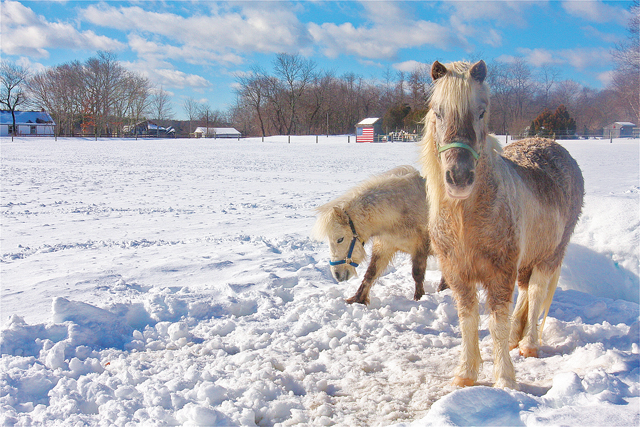 Ponies in the snow in their field on River Road in Calverton this past February. (Credit: Barbaraellen Koch)