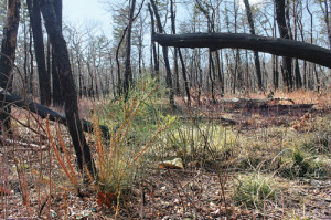 Pine Barrens wild fire