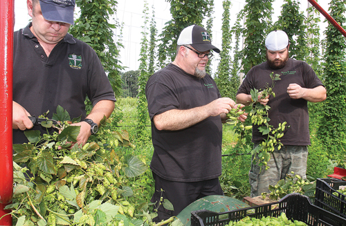 Long Ireland Brewery co-owner Greg Martin (center) harvests hop cones with assistant brewers Liam Hudcock (left) and Fred Keller at Condzella Farm in Wading River in 2012. (Credit: Barbaraellen Koch, file)