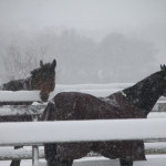 Snow falls on horses at a farm on Middle Road Monday morning. (Credit: Paul Squire)