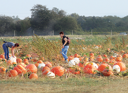 BARBARAELLEN KOCH PHOTO | Pumpkin pickers in a field at Harbes Family Farm on Sound Avenue in Mattituck.