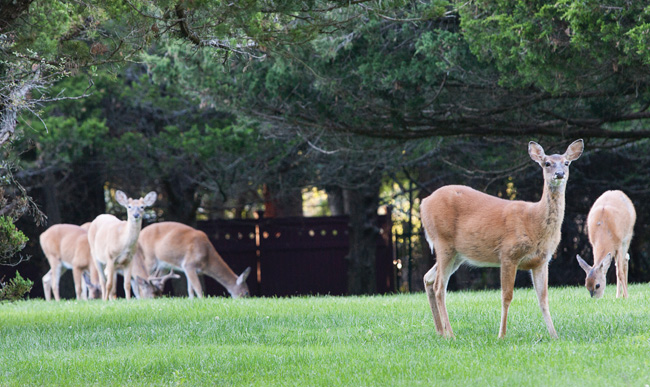 Deer in the backyard of a Southold home. (Credit: Katharine Schroeder)