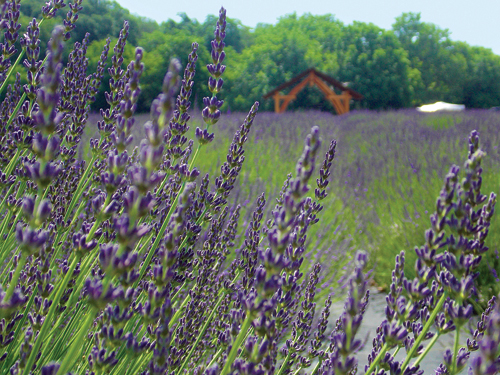 Lavender By the Bay in East Marion announced over the Fourth of July weekend its French lavender crop was blooming. (Credit: Joseph Pinciaro)