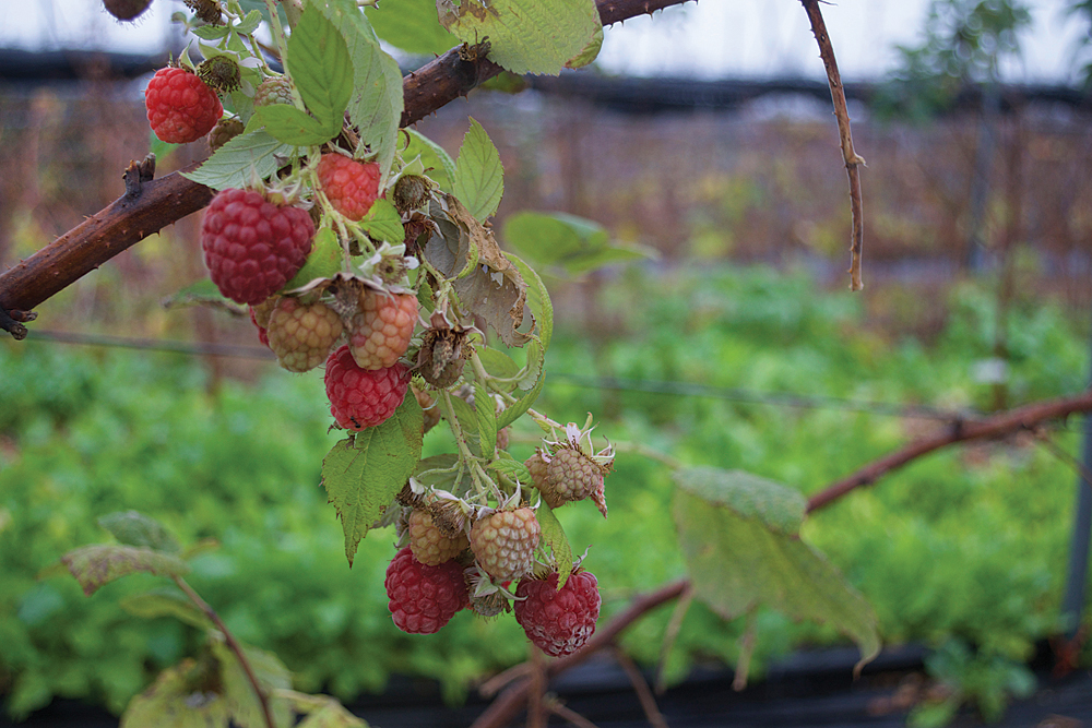 Raspberries growing on the vine on Thursday, Dec. 17 at Oysterponds Farm in Orient. (Credit: Vera Chinese)