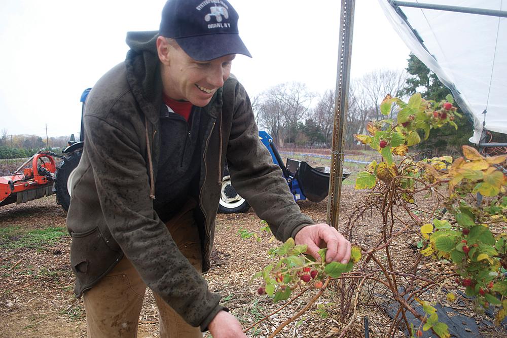 Farmer Tom Stevenson of Oysterponds Farm shows off some raspberries till on the vine in December. (Credit: Vera Chinese)