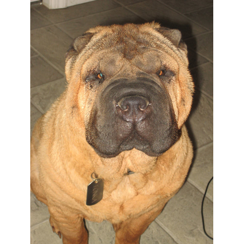 Tonka, a four-year-old shar pei, was hit and killed over the weekend. (Credit: Jesse Swenk/Facebook)