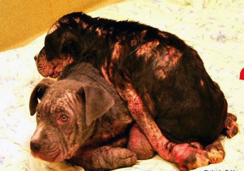 The two pit bulls abandoned at the Riverhead Animal Hospital overnight on Dec. 18, 2012. One of the puppies later died. (Credit: SCPA 2012)