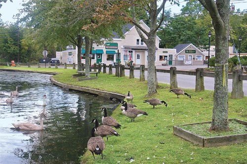 BARBARAELLEN KOCH PHOTO | Canada geese graze and swans swim in the duck pond in Wading River near the business hamlet late Monday afternoon.