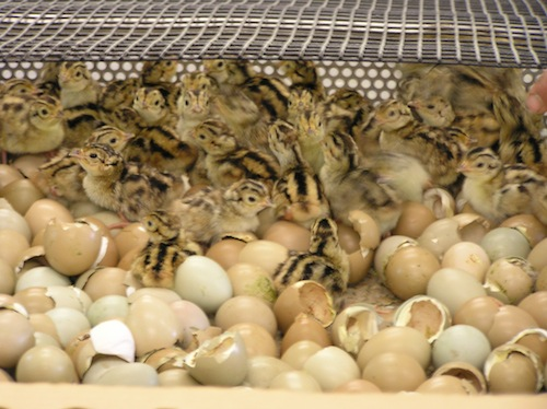 DEC COURTESY PHOTO | DEC is looking for people to care for day-old pheasant chicks.