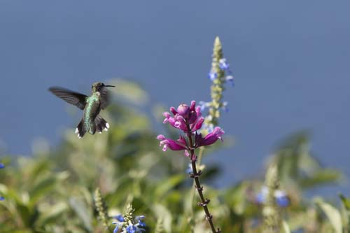 KATHARINE SCHROEDER PHOTO | A hummingbird at the Baiting Hollow sanctuary in August of 2012.