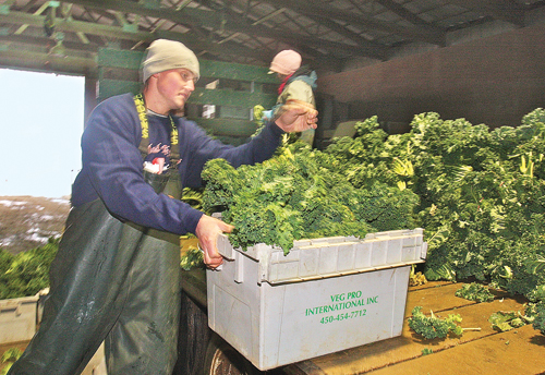 BARBARAELLEN KOCH PHOTO | Farmer Matthew Schmitt with containers of kale that was harvested Monday morning and being packaged for delivery to supermarkets.