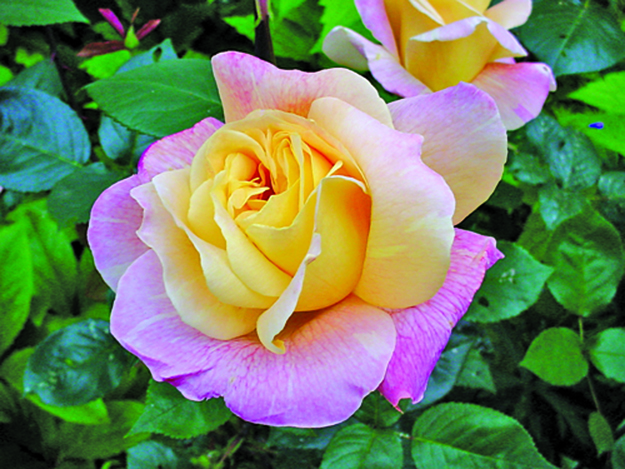 rose hybrid tea peace