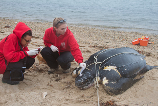 Riverhead Foundation responds to giant turtle found on Shelter Island