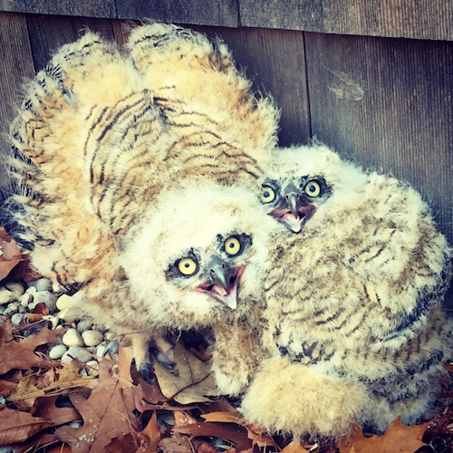 Baby owls were recused Monday at same home another owl was saved last week. (Credit: Joseph DiVello)