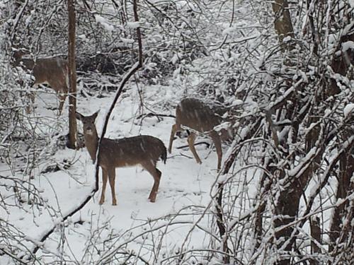 READER PHOTO | Deer in Mattituck on Monday.