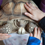 Spike, an African spurred tortoise, getting attention during the workshop.