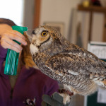 Hooter, a great horned owl, drinks water.
