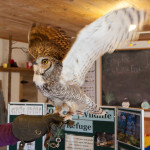 Hooter shows off his impressive wing span.