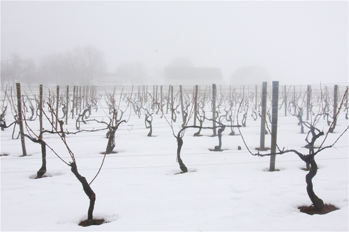 Lenz Vineyard in Cutchogue looking west this afternoon. (Barbaraellen Koch photo)