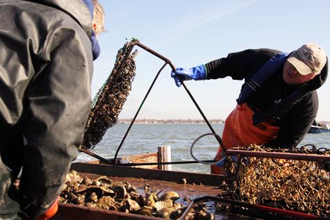 Long Island scallop season