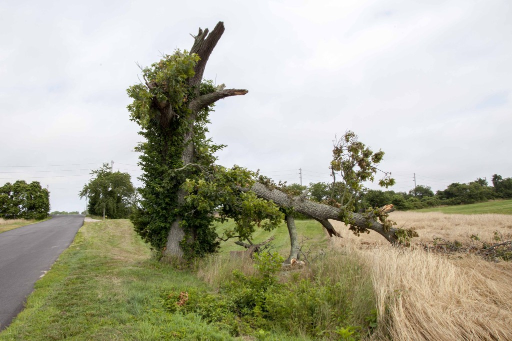 An oak tree on Mill Lane collapsed onto Bill Ruland's rye crop during last week's thunderstorm. (Credit: Chris Lisinski)