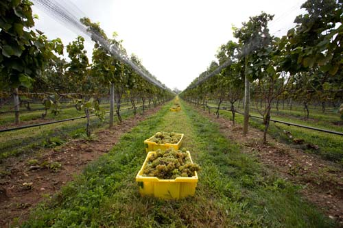 Long Island Wine Country Harvest Season