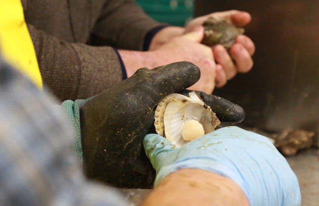 Workers shuck Peconic Bay scallops at Southold Fish Market Monday. (Credit: Krysten Massa)