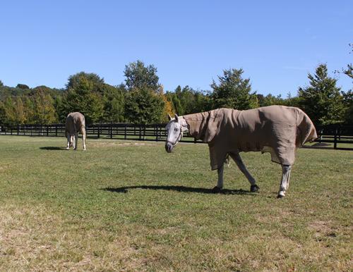 CARRIE MILLER PHOTO | Horses roam the grounds of Maple Lane Farm in Mattituck Wednesday.