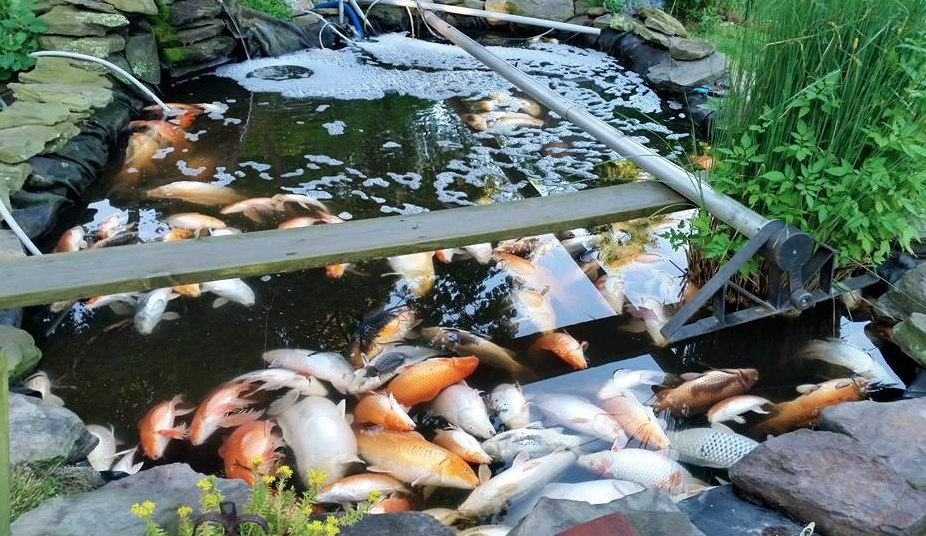 Close to 120 koi died in a Mattituck mans backyard pond after Tuesday