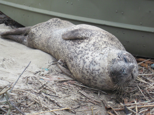 Riverhead Foundation Courtesy Photo | A juvenile male harbor seal is in critical condition after he was found stranded early Sunday.