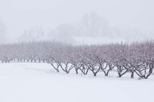 KATHARINE SCHROEDER PHOTO | Snowy trees at Wickham Farm in Cutchogue.